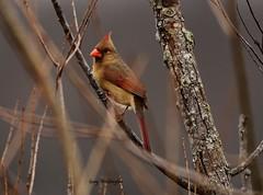 Cardinal_4609 (Porch Dog) Tags: 2017 garywhittington kentucky nikond750 fx nikon200500mm lbl landbetweenthelakes betweentherivers nature bird cardinal feathers wildlife