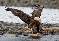 Fishing for dinner. Nooksack river Washington State (sharp shooter2011) Tags: baldeagle raptor raptorinflight eagle eagleinflight birdinflight talons nooksackriver whatcomcountywa