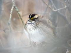 White-throated Sparrow ~ Zonotrichia albicollis IMG_7096 (Jennz World) Tags: ©jennifermlivick whitethroatedsparrow sparrow bird cambridge ontario canada riversidepark