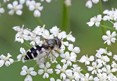 Melangyna umbellatarum (saracenovero) Tags: melangynaumbellatarum syrphidae diptera flies fliesoflithuania mazeikiai 2016