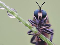 Violet Black-Robber Fly (pen3.de) Tags: omd em10ii zuiko 60mmmakro wildlife natur naturlicht insekt fliege raubfliege blueeyes fühler halm grashalm diagonal tropfen tautropfen morgentau morgens facettenaugen beine makro