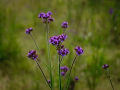 Verbena Brasiliensis Vell, Bromo-Tengger-Semeru National Park (elly.sugab) Tags: flower flora bunga plat bromo semeru nationalpark bokeh depthoffield dof