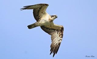 Osprey - Falco Pescatore (Pandion haliaetus) - Explore  Feb 11, 2017 # 492