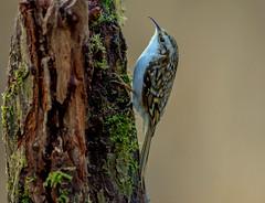 DSC9304  Treecreeper.. (jefflack Wildlife&Nature) Tags: treecreeper trees treecreepers birds avian animal wildlife wildbirds woodlands farmland forest hedgerows glades songbirds countryside nature