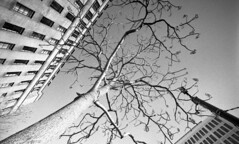 Urban Skeleton (4foot2) Tags: streetphoto streetshot street streetphotography reportage reportagephotography tree urban lookingup up buildings highrise manchester monochrome mono bw blackandwhite rolleiretro rolleiretro400s 400s rodinal standdevelop analogue film filmphotography fourfoottwo 35mmfilm 35mm 15mm voigtlander15mm voigtlander superwideangle 1932 1932leica rangefinder leica111 leica 2017 4foot2 4foot2photostream 4foot2flickr