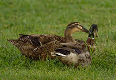 Two and a half ducks (bcr160) Tags: ranch park duck nikon mallard nikkor gibson 80400 d7100 kl0 bcr160