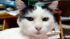 Stern (AmikLanfranco) Tags: pink pet white black cute green face look animal yellow cat mammal big eyes feline serious adorable kitty front filter cheeks catus aww stern gaze patches animalia visage felis strict patchy