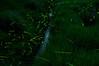 蛍合戦 (m.hamajima) Tags: pentax firefly k3 蛍 fa50mmf14 ホタル 岡崎市 ほたる ゲンジボタル
