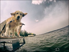 26-52 learning to fly (Dave (d stop - the photon whisperer)) Tags: summer goldenretriever dock saskatchewan brittanyspaniel tompetty 52weeksfordogs 52weeksofbruno