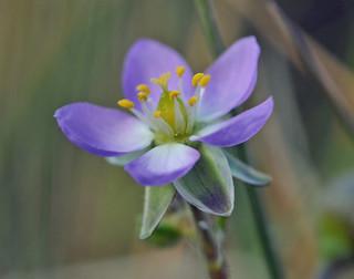 Sand Spurrey - Spergularia rubra {explored}