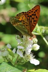 Silver-washed Fritillary (raggi di sole) Tags: england orange black green nature woodland butterfly outdoor surrey nymphalidae argynnispaphia silverwashedfritillary bookhamcommon