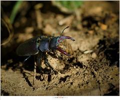 Vliegend Hert (nandOOnline) Tags: nature animal insect beetle nederland natuur insekt dier limburg kever stagbeetle lucanuscervus gewei jabeek holleweg vliegendhert bingelrade hertkever grootvliegendhert