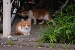 20150710-DS7_7116.jpg (d3_plus) Tags: street sea sky cats plant nature japan cat twilight nikon scenery dusk daily telephoto  tele streetphoto nikkor   kanagawa  dailyphoto teleconverter  thesedays 80200mm 80200       kenko 8020028 80200mmf28d  80200mmf28   teleplus  80200mmf28af kenkoteleplus d700 nikond700   kenkoteleplusmc7af20xgx aiafzoomnikkor80200mmf28sed