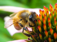 B again (RetDP) Tags: flower macro closeup insect wings bee honey coneflower pollen antenna