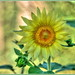 Decorative Sunflower in HDR