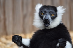 Black n White Ruffed Lemur