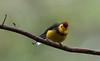COLLARED REDSTART (Costa Rica Nature & Astro Photo) Tags: nature birds costarica wildlife birding aves birdwatching collaredredstart myioborustorquatus birdsofcostarica canon7d avesdecostarica beltranlara