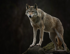 The King (ellen-ow) Tags: zoo wolf explore tier wildpark raubtiere sugetiere tierparks hundeartige wildparkgranat