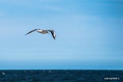 Seagull in flight / Mewa w locie (Krysper) Tags: sea bird europa europe seagull air poland polska baltic ustka morze mewa batyckie