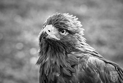 Nelson the Golden Eagle (Eldorino) Tags: golden eagle aquilla