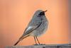 DSC0277  Black Redstart.. (jefflack Wildlife&Nature) Tags: blackredstart redstart redstarts birds avian animal wildlife wildbirds songbirds gardenbirds countryside coastalbirds moorland meadows migrants nature ngc npc