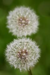 Sekiz - Eight (halukderinöz) Tags: karahindiba dandelion sekiz eight bitki tohum plant seed ankara atatürk kültür merkezi