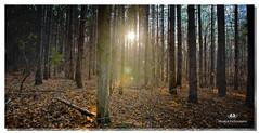 NOVEMBER 2016  NM1_2051_016782-2-22 (Nick and Karen Munroe) Tags: nickmunroe nikon nickandkarenmunroe nickandkaren nikond750 munroedesignsphotography munroedesigns munroephotography munroe karenick23 karenick karenandnickmunroe karenmunroe karenandnick sun sunset sunsetting dusk nightfalling nightfall trees conservationareas hiltonfalls hiltonfallsconservationarea hike hiking tree foliage foggy fog mist milton ontario canada nikon2470f28