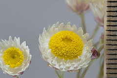 Waitzia citrina 2 (brundrett) Tags: everlasting daisy yellow shite pink spring annual