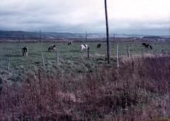 a pasture, Donan, Hokkaido, October 1978 (jtabn99) Tags: hokkaido donan 19781000 farm cow field 北海道 道南 旅行 日本 japan nippon nihon pasture