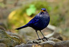 Blue whistling thrush (Zahoor-Salmi) Tags: zahoorsalmi salmi wildlife pakistan wwf nature natural canon birds watch animals bbc flickr google discovery chanals tv lens camera 7d mark 2 beutty photo macro action walpapers bhalwal punjab