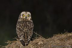 Asio flammeus (LdrGilberto) Tags: coruja nabal shorteared owl asio flammeus bird ave natureza nature wild asioflammeus shortearedowl