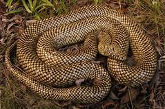 Florida Kingsnake (Lampropeltis getula floridana [brooksi]) (Ian Deery) Tags: florida kingsnake king snake lampro lampropeltis getula floridana brooks brooksi south fl sofla herp herping ian deery sony a55 1855 everglades