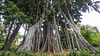 [0165]: Puerto de la Cruz: Jardín Botánico (Pepe Balsas) Tags: árbol jardínbotánico tenerife puertodelacruz wow