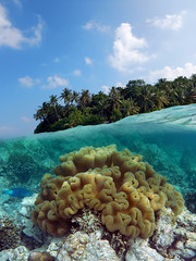 Sarcophyton Ehrenbergi (ladigue_99) Tags: atoll atollo maldive maldives malediven biyadhoo southmaleatoll indianocean océanindien oceanoindiano lakshadweepsea barrieracorallina coralreef barrierreef ladigue99 swimming nuoto nuotare snorkeling underwater subacqueo softcoral sarcophytonehrenbergi southernhemisphere summer january