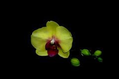 IMGP4087 Pharaenopsis (tsuping.liu) Tags: outdoor organicpatttern orchid blackbackground bright blooming flowers nature natureselegantshots naturesfinest plant yellowflower ecology excellentflower