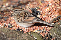 All you can eat (Jays and Jets) Tags: bird birds animal animals wild sparrow chipping gonzalez florida birdseed