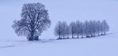 Walk in white (:Linda:) Tags: germany thuringia village brünn nobw snow limetree row huntersperch