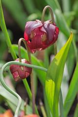 flower of a carnivorous pitcher plant (teknoec) Tags: flower pitcher plant darlingtonia californica szeged botanic garden carnivorous