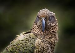 Kea (loveexploring) Tags: nestornotabilis newzealand newzealandnativebird southisland alpineparrot bird kea parrot wildlife portrait