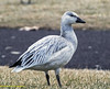 Snow goose (rumerbob) Tags: goose snowgoose duck bird birdwatching birdwatcher waterfowl waterbird fowl wildlife nature naturewatcher peacevalleypark lakegalena canon7dmarkii canon100400mmlens