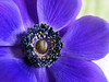 Purple Anemone b (PrunellaCara) Tags: anemone flower macro flowerportrait closeupnature purple