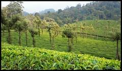 Evening at Stanmore Tea Estate (Indianature st2i) Tags: valparai anamalais anamallais tamilnadu westernghats tea teaestate wildlife indianature india nature 2016 2017 evening sky sunset stanmore woodbriar woodbriarteaestate