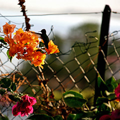 Colibri de Martinique (pom'.) Tags: canoneos400ddigital bird flower lestroisîlets lemarin colibri martinique 972 outremer francedoutremer france dromcom antilles westindies amérique america europeanunion 100 5000