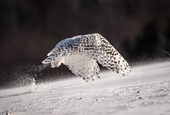 (chuckgallaher) Tags: bird snowy owl michigan