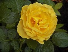 Julia Childs-first full bloom (MissyPenny) Tags: usa flower rose yellow garden pennsylvania juliachild buckscounty queenrose bristolpennsylvania