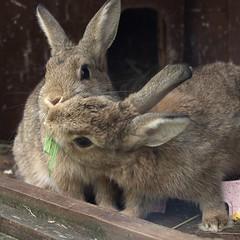babies (rjmiller1807) Tags: rabbit bunny june buns bun oxfordshire rspca harwell 2015 rehoming