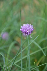 Nature (kathi_ober) Tags: macro green nature chives purble
