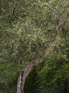 Twisted Birch