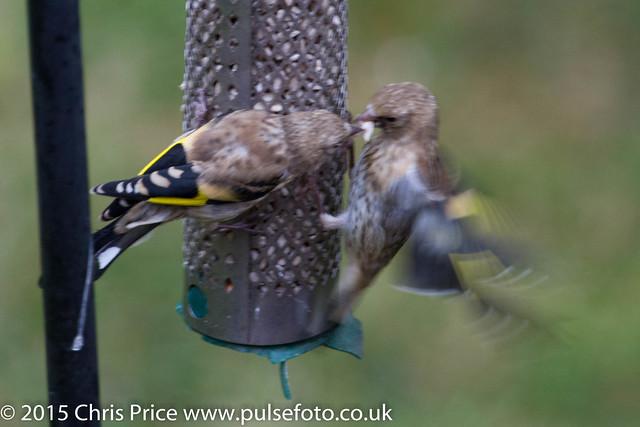 Goldfinch Fledglings