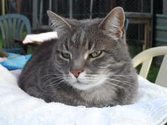 Charlie up close (Matilda&Charlie&Josie ~ MCJ) Tags: cat charlie 9yo greybluecreamtabby